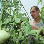 Малки тайни: Пръскайте с бор за по-сладки домати