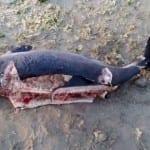 Трупове на разфасовани делфини изплуваха между Ахелой и Поморие
