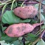 Сладки картофи могат да се отглеждат и у нас