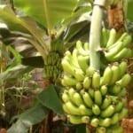 Първата реколта от банани берат в манастир край Пловдив