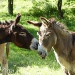 Швейцарци откриват първия приют за магарета в България