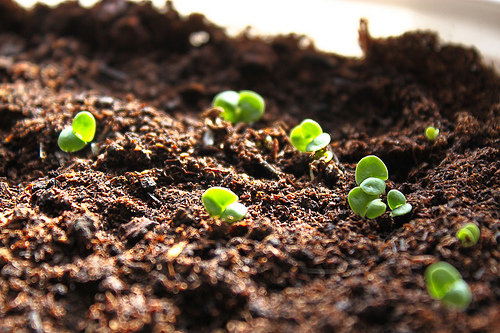how-to-grow-basil-from-seed