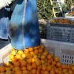 Липса на работна ръка за прибиране на реколтата от цитрусови плодове