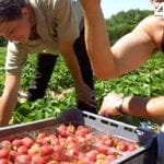 """Разкази от фермата в Англия: """"Който не спре да бере ягоди, ще си има работа с мен"""" (Част II)"""