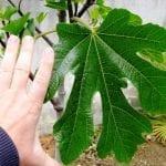 Неподозираните лечебни свойства на листата от смокиня