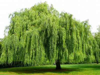 nicewillowtree