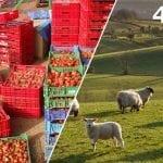 Разкази от фермата в Англия: Абе, тези овце, ако хванем една и я довлечем до онова дере, ще я одерем тук, ще я разфасоваме… (Част I)
