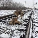 Куче пази раненото си другарче под преминаващи влакове