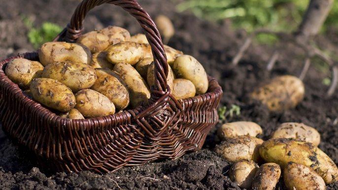 Как да получим 15 килограма картофи само от 1 картоф на 4 квадрата площ?
