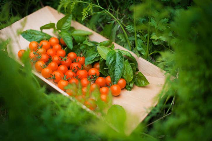 В лехите с домати засейте магданоз – растения, които си помагат