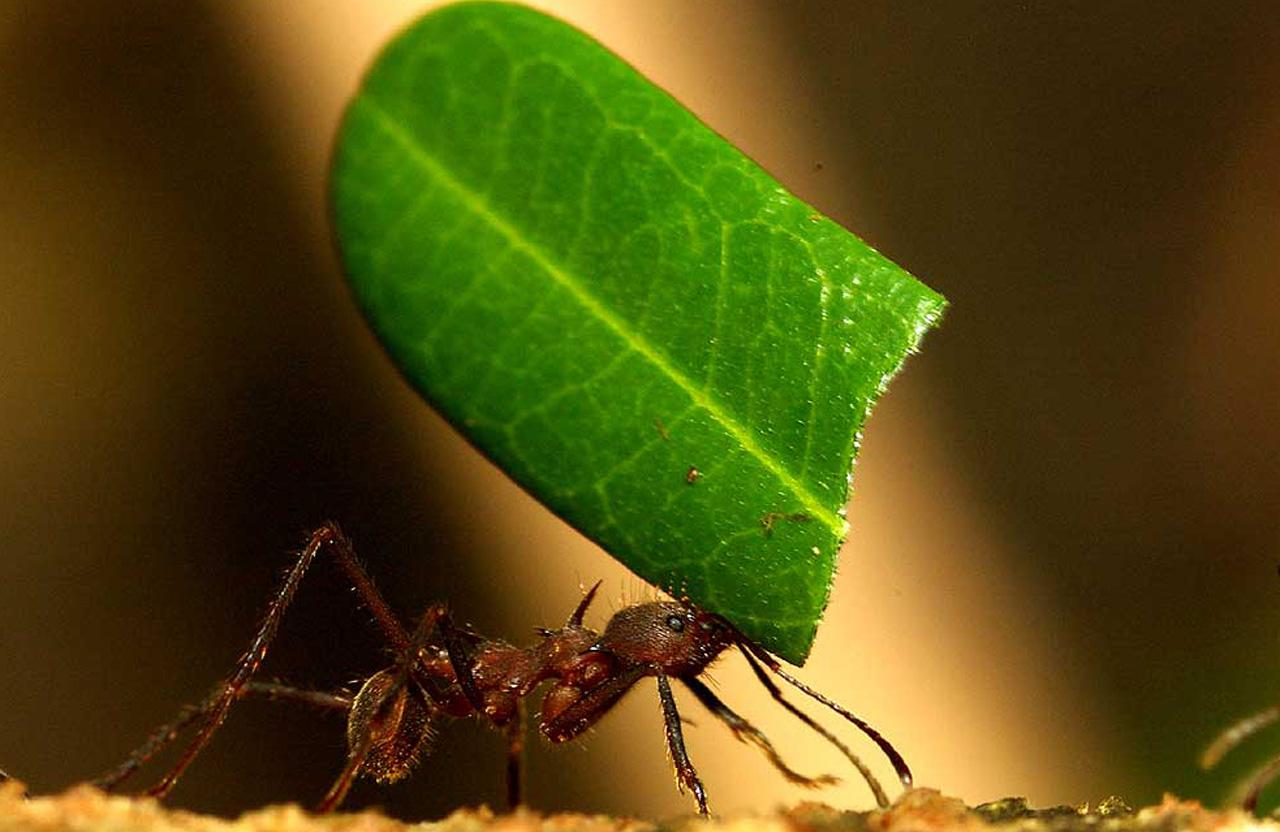 Как Мравката губи мотивация за работа