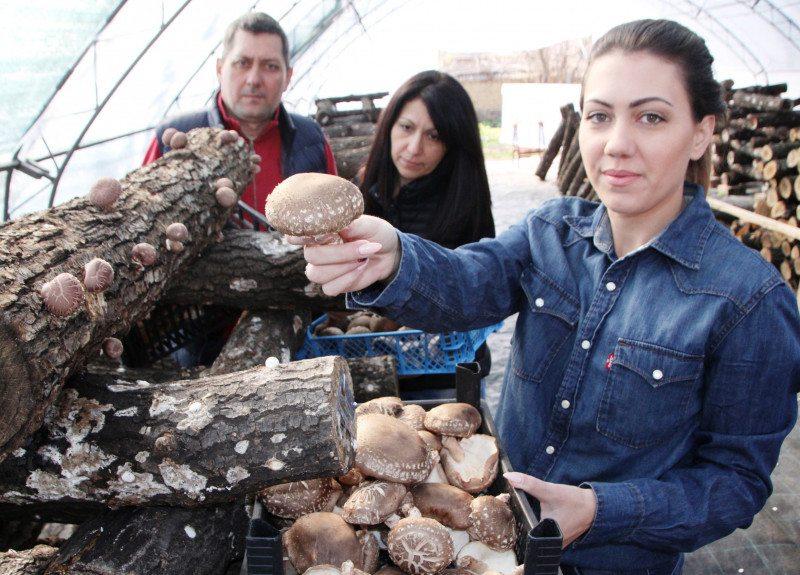 Семейство направи в Хотница биоферма за новия хит лечебни гъби шийтаке