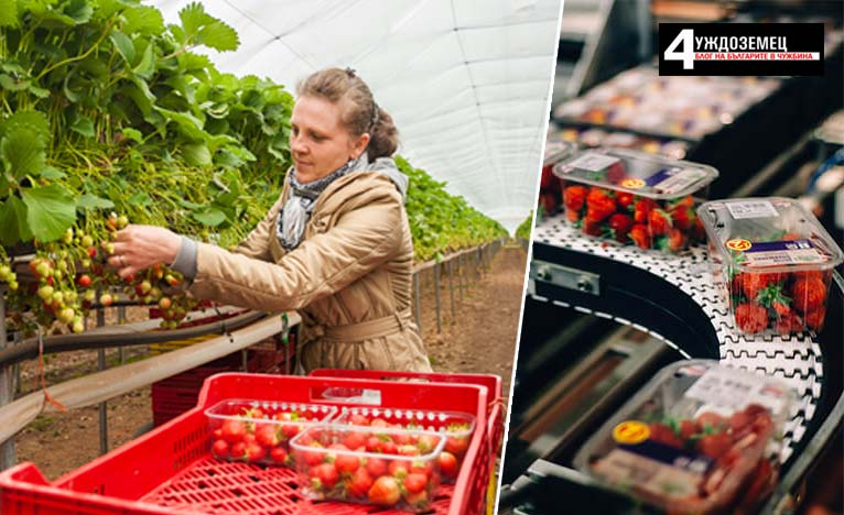 Разкази от фермата в Англия: Кървавите пари на Ягодова България в S&A Produce (III)