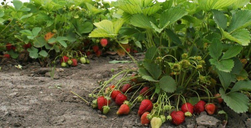 Не мога да им се нарадвам! Не ягоди, а чудо: от един корен изкарах цяла кофичка! А само направих, както ме научи дядо: