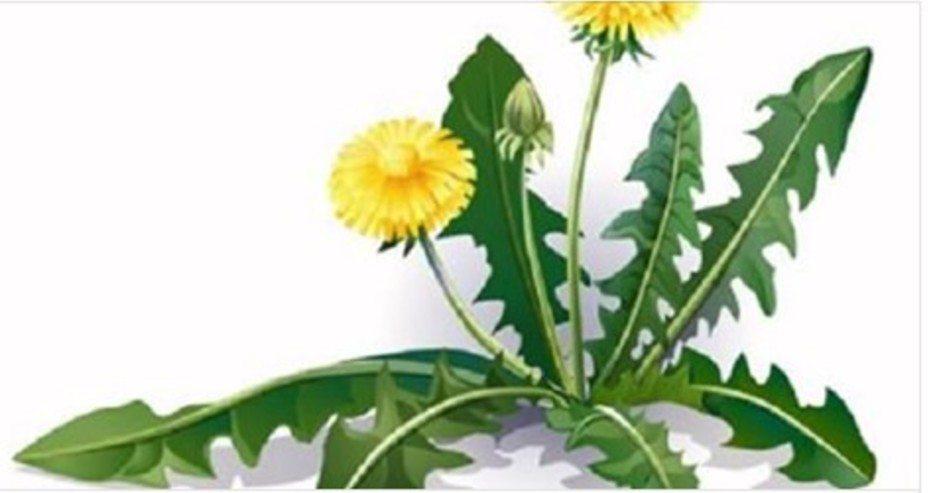 Само едно листо от тази билка може да ви спаси живота за една минута, но малко хора знаят как да я използват!