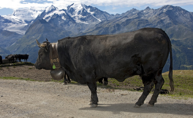 Швейцарски крави се самоубиха, скачайки от скала
