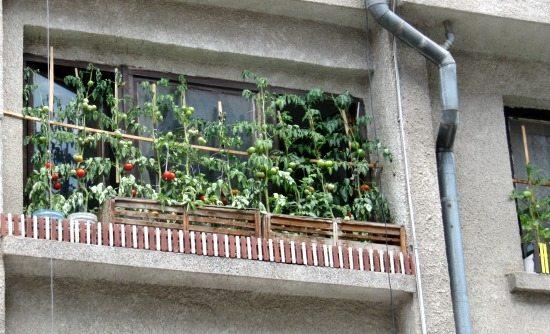 В Бургас: Зеленчукови градини на прозорците във Възраждане