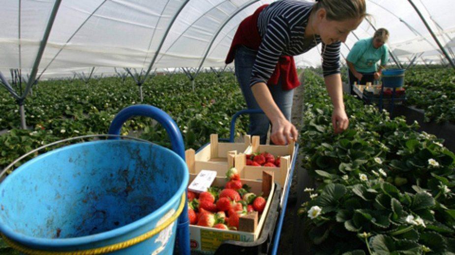 Испански работодател търси 800 работници за бране на ягоди