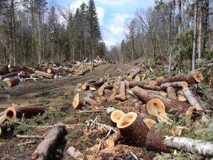 Безпощадната дървена мафия превръща Странджа в Афганистан
